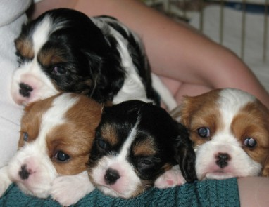 A litter of Cavalier King Charles Spaniels
