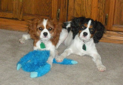Cavalier King Charles Spaniel Playing Pups