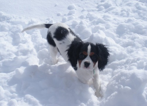 Cavalier King Charles Spaniel in the Snow