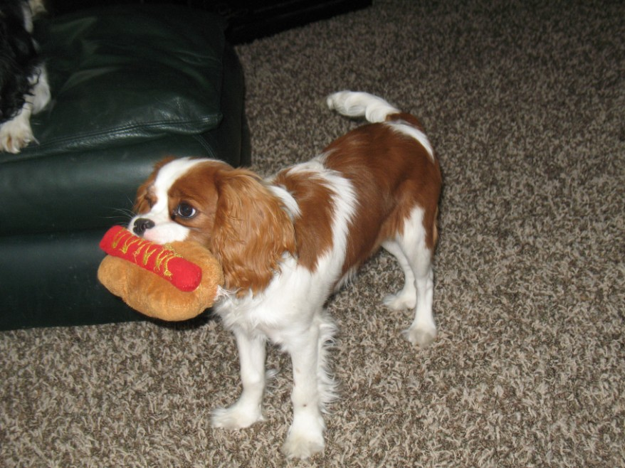 Cavalier King Charles Spaniel Fetching