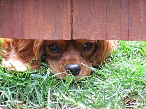 Cavalier King Charles Spaniel Hiding under the fence